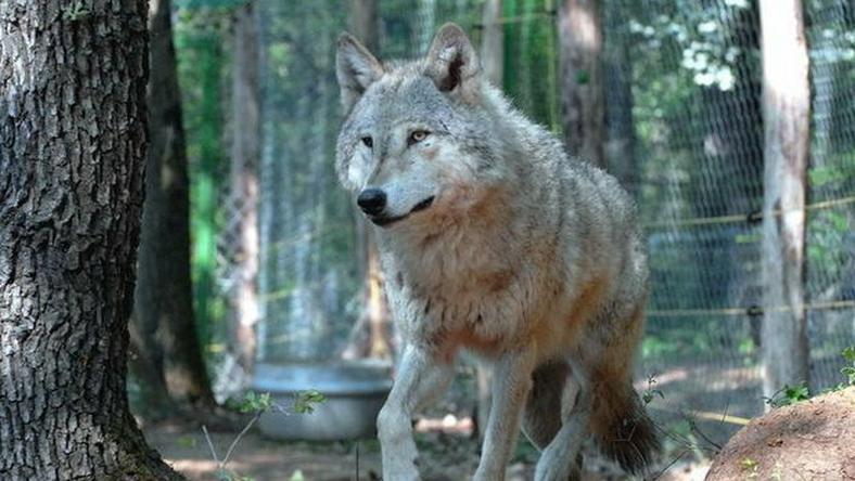 A farkas rettegésben tartotta a környéket/Fotó: MTI-Kamlandy Ferenc