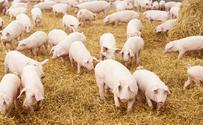 Białoruś ogranicza import wieprzowiny z Polski