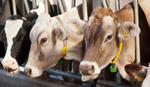 "Potera za ""trgovcima stokom"": Starce ostavili bez para, ali i bez krava"