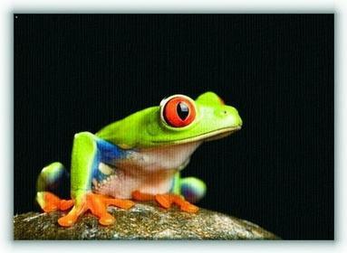 Żaba na Kamieniu - Obraz na płótnie