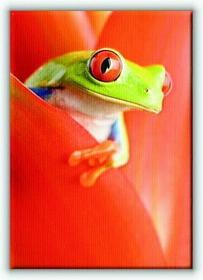 Żaba w Kwiecie - Obraz na płótnie