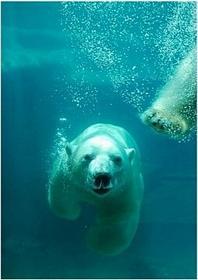 Niedźwiedź Polarny - Obraz, reprodukcja