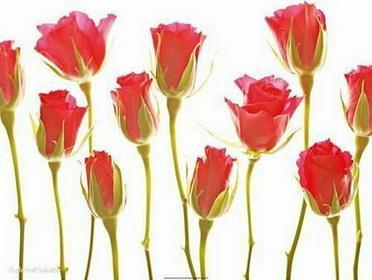 Eleven Roses - Obraz, reprodukcja