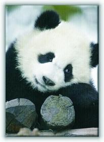 Wielka Panda - Obraz na płótnie