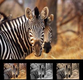Wally Obraz zebra 136