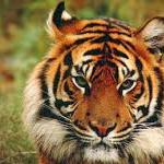 Tygryska333