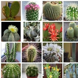 kaktusek0548086