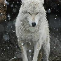 Miłośnicy wilków!