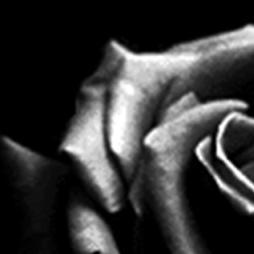 Black-rose13
