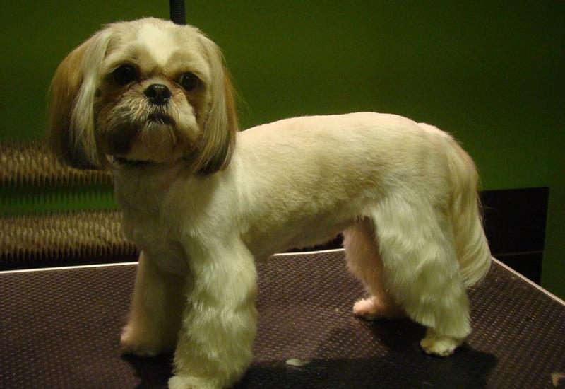 psów - Almo Psi Fryzjer. Strzyże... zdjęcie 8