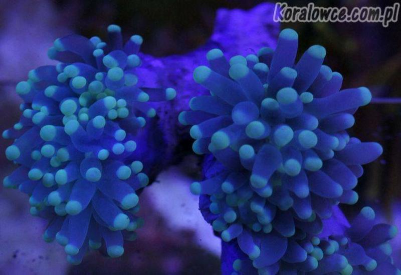 koralowce