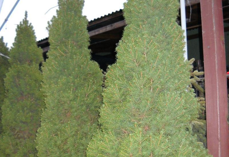 choinki, centrum ogrodnicze erwas