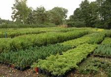 zieleń przydrożna - Gospodarstwo szkółkarskie... zdjęcie 9