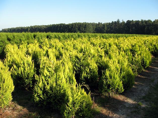 Iglak. Szkółka drzew i krzewów ozdobnych