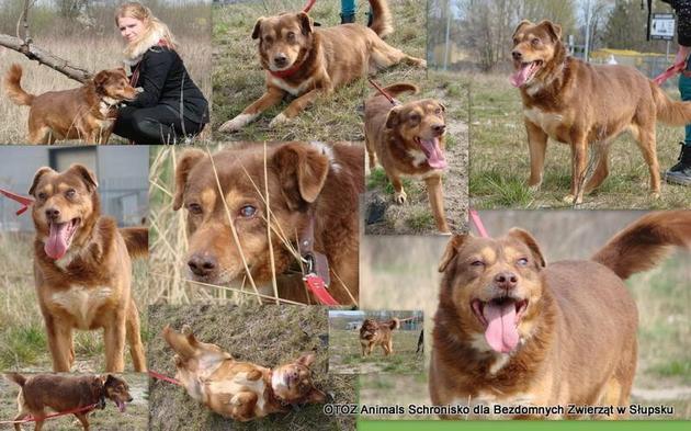 Jest psem łagodnie usposobionym do ludzi i innych psów. Potrafi chodzić na smyczy. Z charakteru jest wesoły, energiczny i pełen wigoru