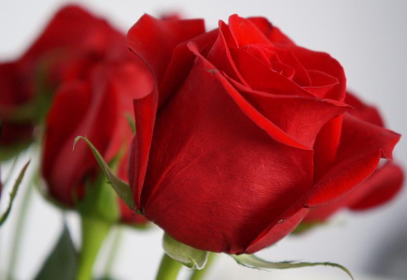 róże - Green Team - Import Kwiat... zdjęcie 2