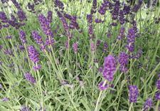 hortensje ogrodowe - Gospodarstwo Ogrodnicze L... zdjęcie 2