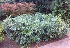 magnolia - Szkółka Roślin Ozdobnych ... zdjęcie 14