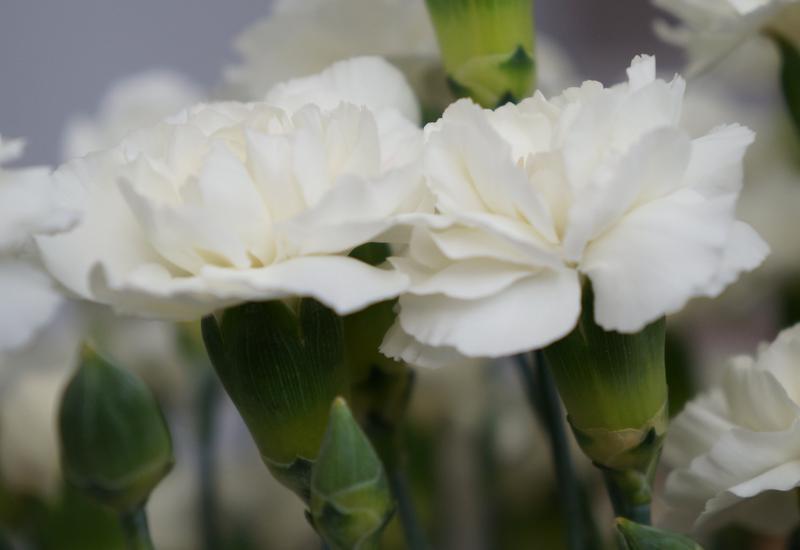 goździki - Green Team - Import Kwiat... zdjęcie 1