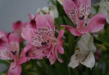 import kwiatów ciętych - Green Team - Import Kwiat... zdjęcie 12