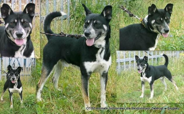 Pies ten potrzebuje doświadczonego opiekuna jeśli miałby zamieszkać w domu lub możliwości swobodnego biegania jako stróż.