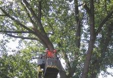 zrębki - Quercus Tomasz Sysło. Wyc... zdjęcie 7