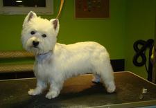 pielęgnacja dla psów - Almo Psi Fryzjer. Strzyże... zdjęcie 10