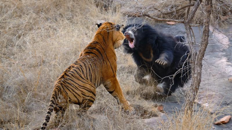 Lélegzetelállító jelenet: a tigrisnek is nekiment az anyamedve a bocsai védelmében – fotók