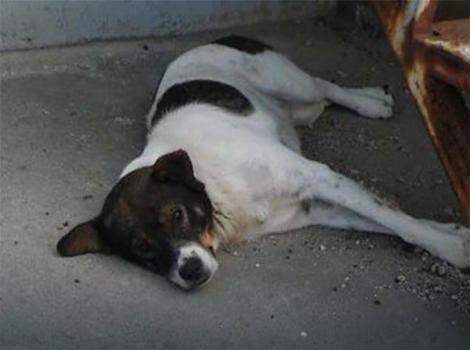 Pas koji je izujedao dečaka biće sterilisan i čipovan