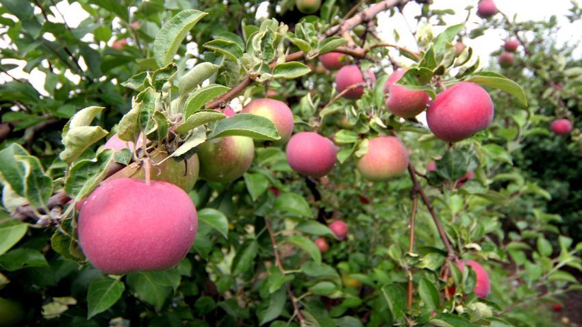 Polskie jabłka trafią na rynek amerykański