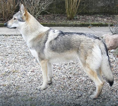 Čehoslovački vučji pas nastao je ukrštanjem nemačkog ovčara i karpatskog vuka