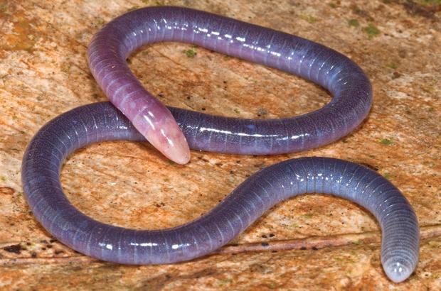 Șarpele-penis (foto: wikipedia.org)