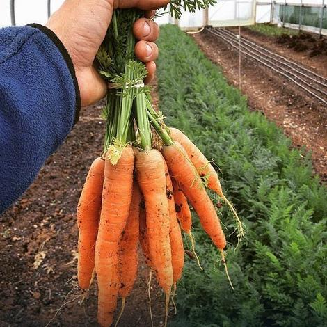 Šargarepa iz Šumadije