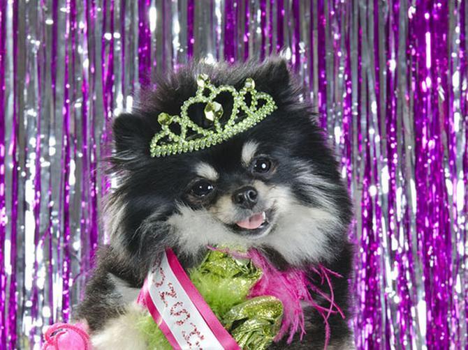 Nova opsesija: Vlasnici troše hiljade dolara na svoje pse da bi učestvovali na takmičenju u lepoti