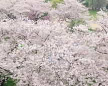 AWIDEO_218_Here_s_what_it_s_like_to_go_to_a_cherry_blossom_festival_in_Japan__v2