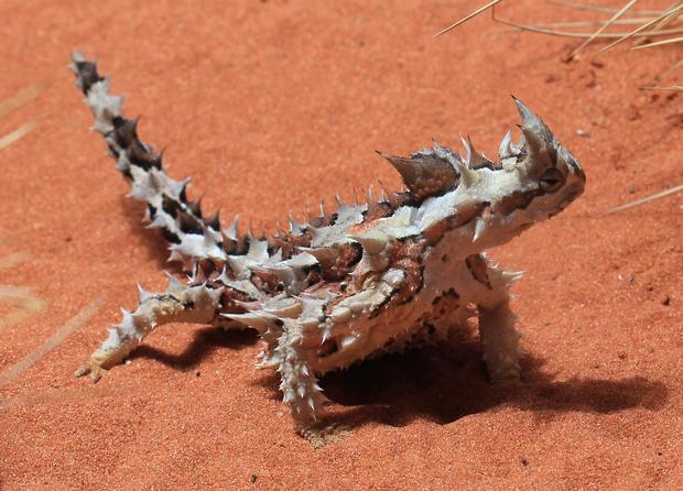 Diavolul țepos (foto: wikipedia.org)