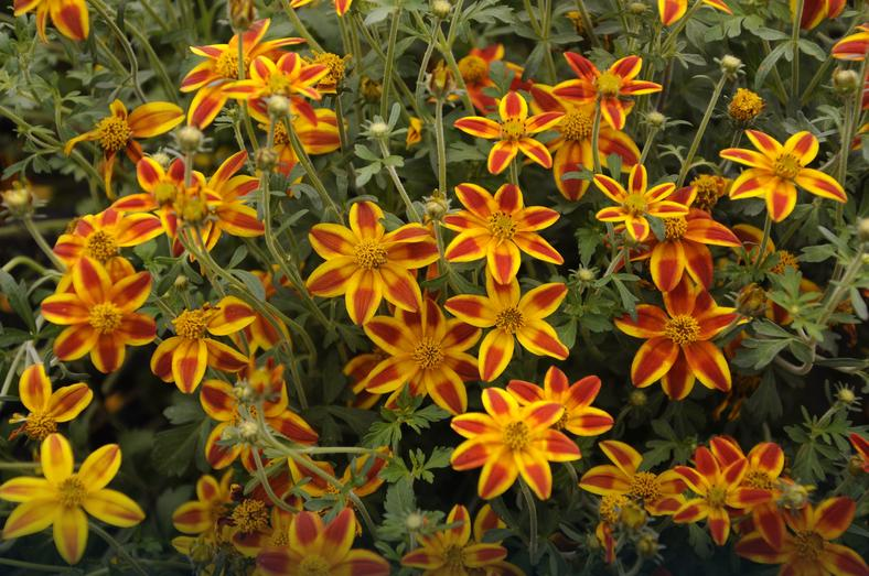 "Bidens ""Sweet & Spicy"""