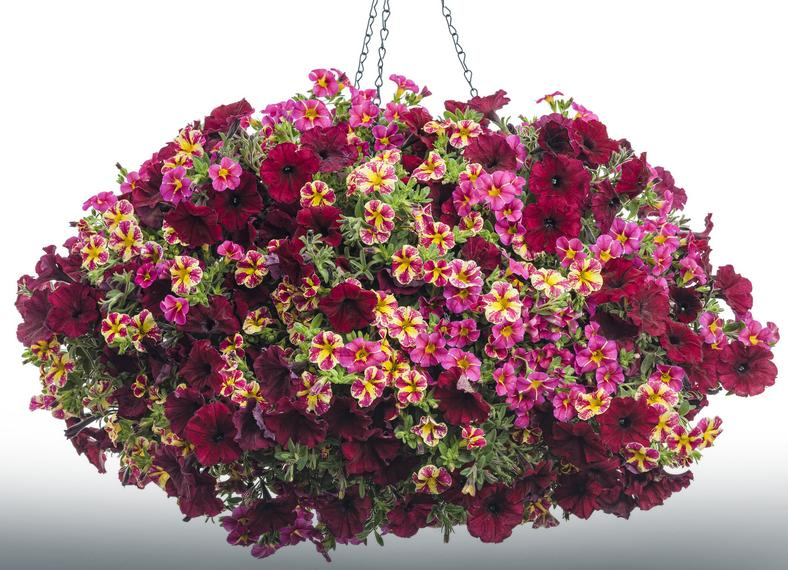 Superbells Cherry Star i Candy Bouquet, Supertunia Chocolina