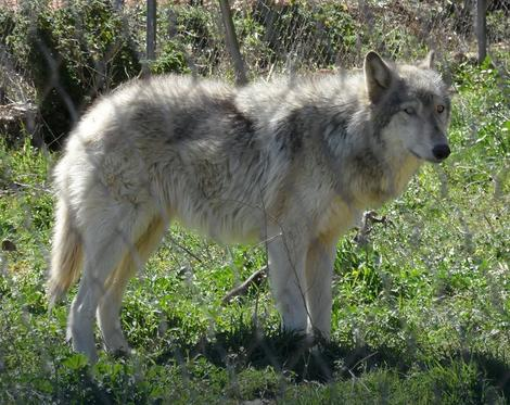 Ponašanje vučjih pasa je teško predvideti jer su kombinacija divljih i domaćih životinja