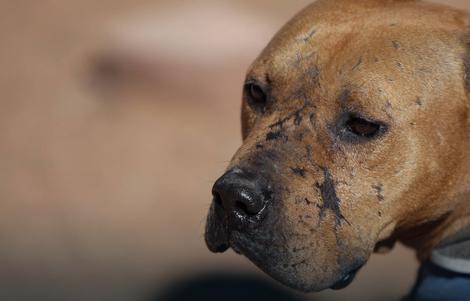 U opasne pse svrstavaju se pit bul, staford terijer i mešanci ovih rasa