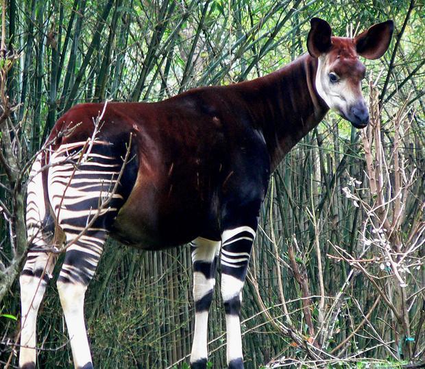 Okapi (foto: wikipedia.org)