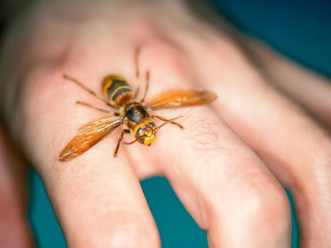 Nenad je UMRO zbog ujeda stršljena: Ako i vas ujede ovaj insekt, OBAVEZNO URADITE OVU STVAR