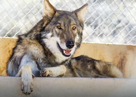 Neo kao odrastao vuk