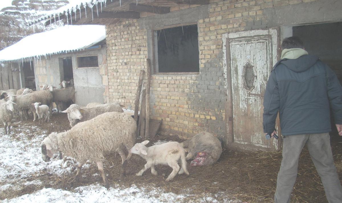 Резултат слика за opor pasa lutalica zaklao ovce, boje se za decu