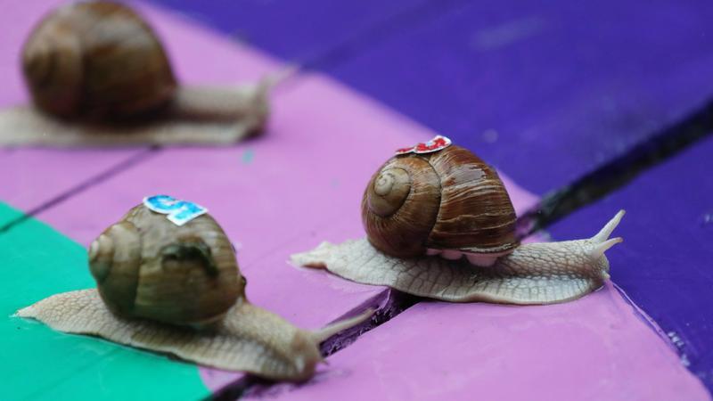Megáll az ész: csigáknak rendeztek gyorsasági versenyt – galéria