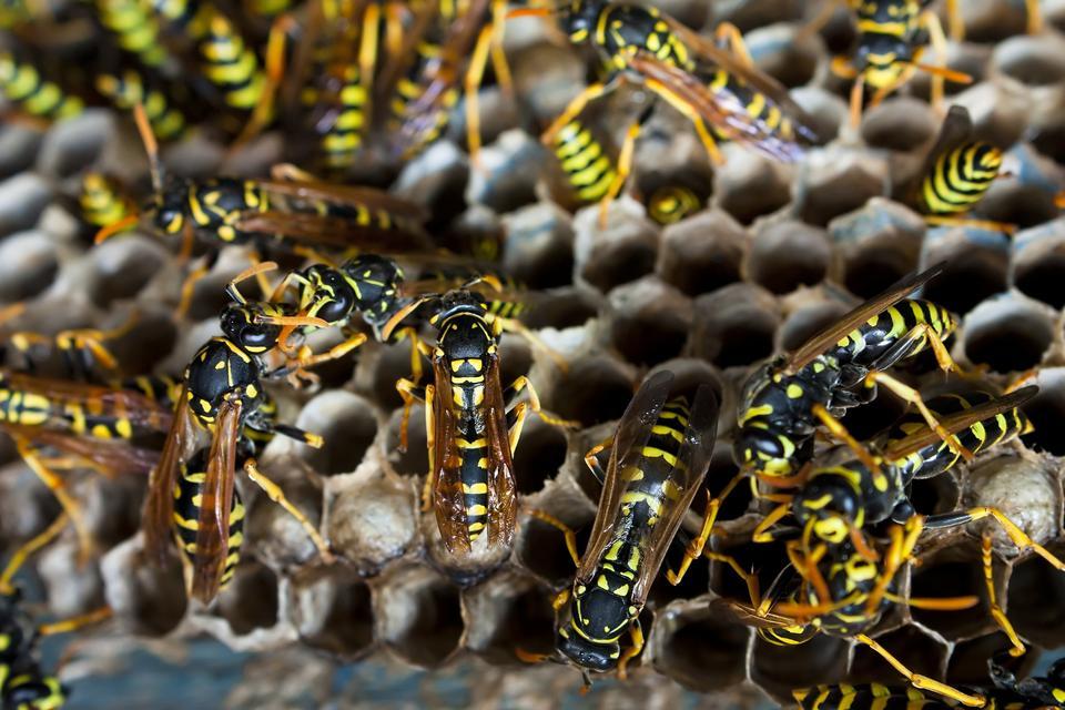 Jak poradzić sobie z nieproszonymi gośćmi? Osy i pszczoły.