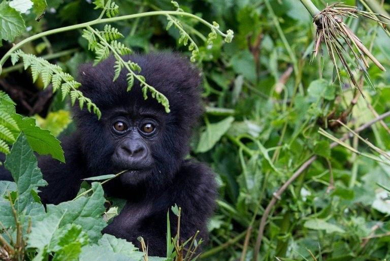 Demand for meat and body parts has driven the gorilla to near extinction