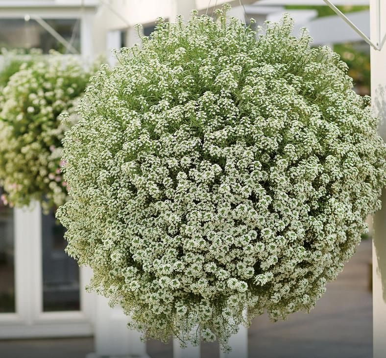 "Lobularia ""Snow Princess"""