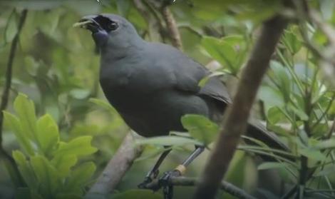 Ptica kokako