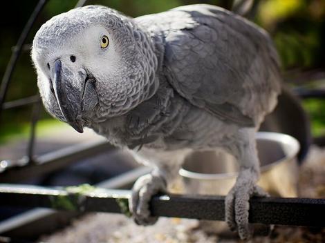 Rezultat slika za papagaj žako